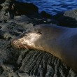 Stock Photo: Galapagos SeLion