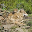 Wolf Cub And Mother At Den Site — Stock Photo #31714441