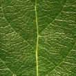 Leaf Detail — Stock Photo #31714481