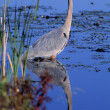 Stock Photo: Adult Great Blue Heron