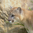 Stock Photo: Cougar