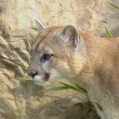 Cougar — Stock Photo #31714747