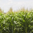 Cornfield — Stock Photo #31714813