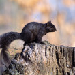 Stock Photo: Gray Squirrel In Black-Color Phase
