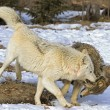 Wolf Interaction — Foto de stock #31714949