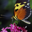 Stock Photo: Tiger Longwing Butterfly