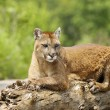 Stock Photo: Cougar Lying On Log