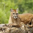 Cougar Lying On Log — Stock Photo #31715109