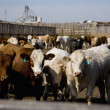 Stock Photo: Corralled Cattle
