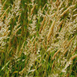 Stock Photo: Wheat In Field