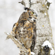Stock Photo: Long-Eared Owl In Winter