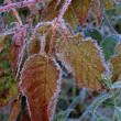 Frost On Blackberry Bush — Stock Photo