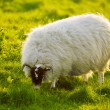 Stock Photo: Sheep Grazing On Grass