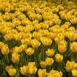 Yellow Tulips — Stock Photo #31715613