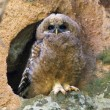 Mexican Spotted Owl — Stock Photo