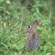 Stock Photo: Cottontail Rabbit
