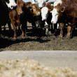 Stock Photo: Herded Cattle