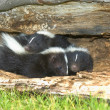 Stock Photo: Young Skunks Burrowing In Hollow Log