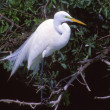Stock Photo: Great Egret In Breeding Plumage