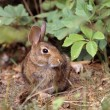 Cottontail Rabbit — Stock Photo #31716311