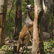 Goat Standing On A Tree — Stockfoto
