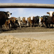 Stock Photo: Cattle