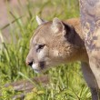 Cougar — Stock Photo #31716465
