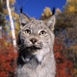 Lynx closeup — Stock Photo #31716473