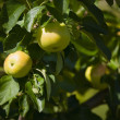 Apple Tree — Stock Photo #31716713