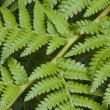 Stockfoto: Fern Leaves