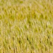 Grain background — Stockfoto #31716793