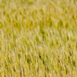 Stock Photo: Grain background