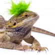 Stock Photo: Bearded Dragon Lizard With Mohawk