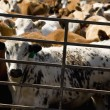 Stock Photo: Cattle In Crowded Pen