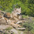 Wolf Cub And Mother At Den Site — Stock Photo #31716833
