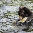 Stock Photo: Grizzly Bear Fishing