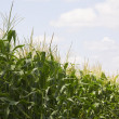 Cornfield — Stock Photo #31716915