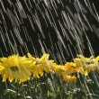 Stock Photo: Rain On Yellow Daisies