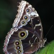 Blue Morpho Butterfly — Stock Photo #31717249