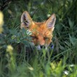 Stock Photo: Red Fox Hiding In Foliage