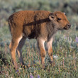 Stock Photo: Bison Calf