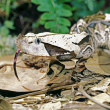 Gaboon Viper — Stock Photo #31717361