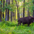 Stock Photo: Single Bison