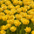 Yellow Tulips — Stock Photo #31717597