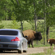 Buffalo And Calf Blocking Road — Stock Photo