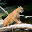 Stock Photo: Cougar Scratching Log