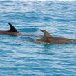 Stock Photo: Atlantic Spotted Dolphins