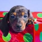Dachshund Puppy In Gift Box — Stock Photo #31718075