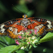 Stock Photo: Lacewing Butterfly
