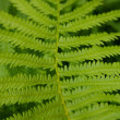 Foto de Stock  : Fern Leaf